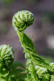 Young leaves of the fern in the early spring Stock Image