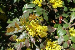 Young leaves and flowers of Mahonia aquifolium. In spring stock photography