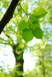 Young leaves in a forest. Fresh leaves in a forest in spring stock photography