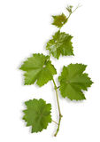 Young leaves of grape Stock Image