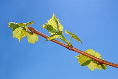 Young leaves of grapes Stock Photos