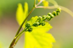 Young leaves of grapes on spring nature Stock Image