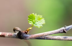 Young leaves of grapes on spring nature Stock Photos