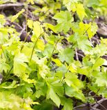 Young leaves of grapes on spring nature Stock Images