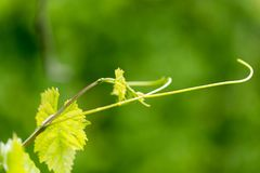 Young leaves of grapes on spring nature stock photography