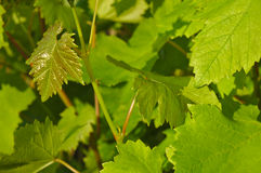 Young leaves of a grapevine tree Royalty Free Stock Photo