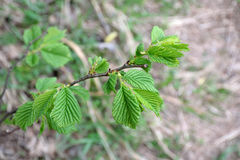 Young leaves of hazel. In spring Stock Images