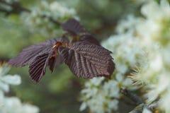 Leaves of hazelnut Corylus Avellana `Red Majestic` stock photo