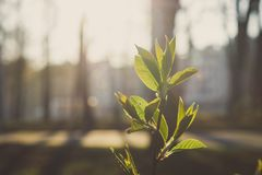 Young leaves illuminated by the sun as a spring background royalty free stock image