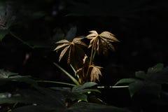 Japanese aralia. Young leaves of Japanese aralia Royalty Free Stock Images