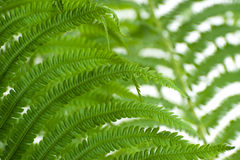 Young leaves of a large wild fern close-up on a white background Royalty Free Stock Photos