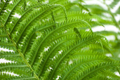 Young leaves of a large wild fern on a white background. Royalty Free Stock Photo