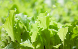 Young leaves of lettuce. In sun rays Royalty Free Stock Photos