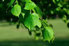 Young leaves of the lime tree (lat. Tilia). Closeup stock photography