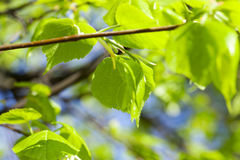 Young leaves of linden tree Stock Photos