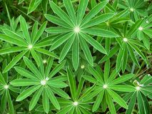 Young leaves of the lupines Royalty Free Stock Photo