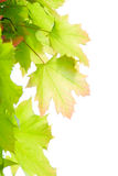 Young leaves of maple Royalty Free Stock Images