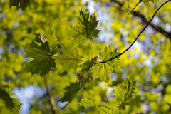The young leaves. Of a maple on a brunch Royalty Free Stock Photos