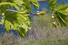 Young leaves of the maple are swinging in the wind. stock photography