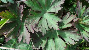 Young leaves of a meadow geranium close up on a sunny day stock images
