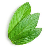 Young leaves of mint Stock Photos