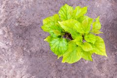 The young leaves of the mulberry tree. The young leaves of the young mulberry tree stock photography
