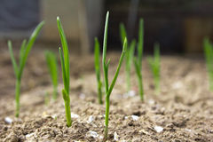 Young leaves of onions Stock Image