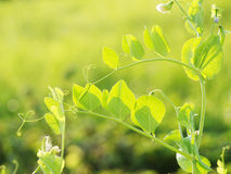 Young leaves of pea Royalty Free Stock Photo