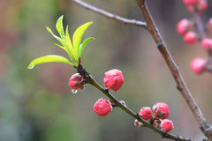 Young leaves and peach buds Royalty Free Stock Image