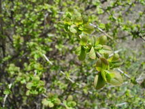 Young  leaves of rounded shape. Budding young leaves in the spring in early May in the Moscow region, Ramenskoye, Moscow suburbs 2016, macro, close up Royalty Free Stock Image