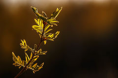 The young leaves of the Rowan tree at sunset. Leaves of the Rowan tree at sunset Stock Photography