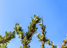 Young leaves of sea buckthorn Stock Photo