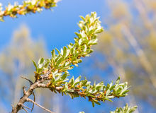 Young leaves of sea buckthorn Stock Photography