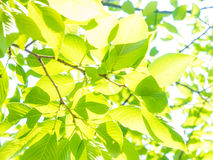 Young leaves are shining in the sunlight Royalty Free Stock Photo