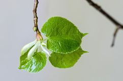 Young leaves of small-leaved lime Stock Photography