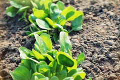 Young leaves of spinach.Sprouts spinach growing in garden. Green shoots. Young greens for salad Royalty Free Stock Images