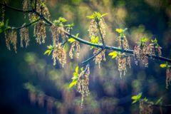 Young leaves in spring and bokeh. At sunset light royalty free stock image