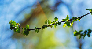 The young leaves in spring. The young bright green leaves on blue sky background in spring Stock Images