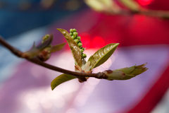 Young leaves of spring over the bright Royalty Free Stock Image