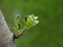 Young leaves of tree Stock Photography