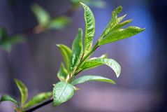 Young leaves of a tree Royalty Free Stock Photo