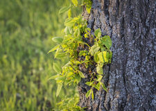 Young leaves of the trees growing on the trunk Stock Images
