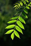 Young leaves of the walnut backlit Royalty Free Stock Photo