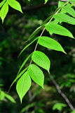 Young leaves of the walnut Royalty Free Stock Images