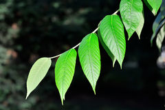 Young leaves of the walnut Royalty Free Stock Photos
