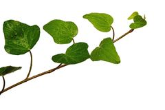 Young leaves of wet plant of common ivy Hedera Helix on white background, drops of water visible Stock Photography