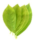 Young lemon leaves Stock Photography