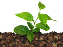 Young lemon tree Royalty Free Stock Photos