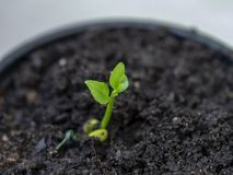 Young lemon tree seedling stock image