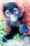 Young lemur eats the grass. Stock Photo